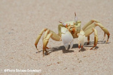 Horn-eyed ghost crab