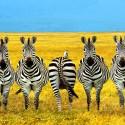 wrong-zebra
