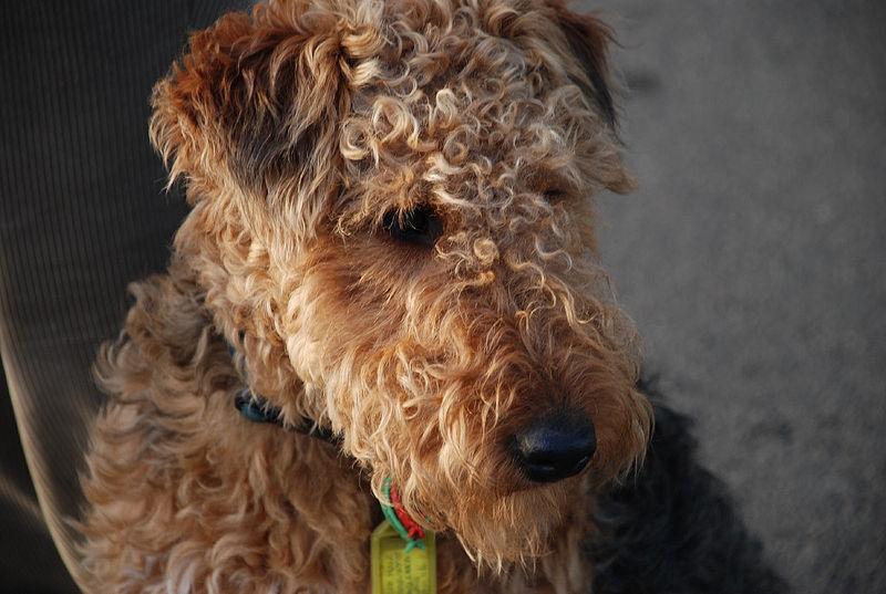 DOOGGS  Hund  Welsh Terrier