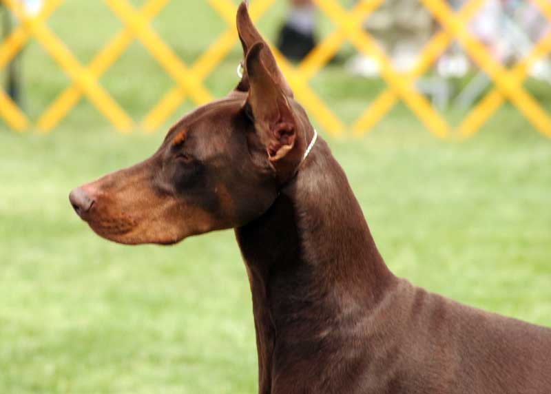 DOOGGS  Hund  Dobermann