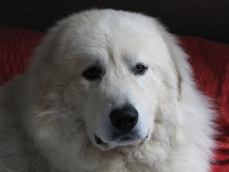 DOOGGS  Hund  PyrenenBerghund  Patou  Pyrenenberghund