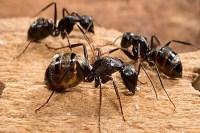 Carpet Ants