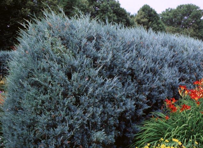 Blue Green Evergreen Shrubs Garden Inspiration