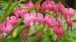 Pink bleeding heart.