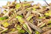 ईरान-पाकिस्तान से आये ट्ड्डिी दल को देखते हुए प्रदेश के कृषि विभाग ने जारी की एडवाइजरी