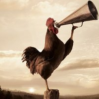 rooster-crowing