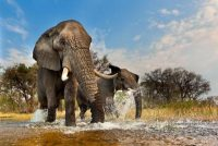 Please call 888-973-0011 or email info@artwolfe.com to license this image or purchase a limited edition print. I set up by a shallow pond and was able to position the camera in a way to capture the width of the landscape with a wide angle.  The elephants were moving with purpose, spraying water and flapping their ears.