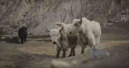 Climate Change and The Dilemma of a Yak Herder