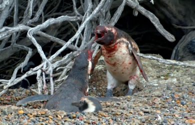Animal Fight Night: Homewrecking Penguin. Courtesy of National Geographic.