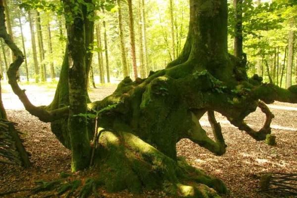 Oude boom bij de oude Keltische stad Bibracte in de Morvan