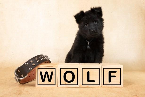 28- Wolf, zwart