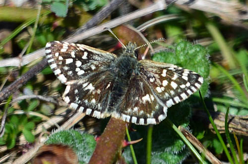 Grizzled Skipper resting on a stalk