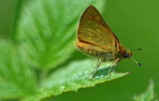 Large Skipper on the edge of a leaf