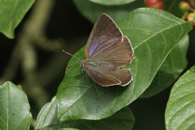 Purple Hairstreak. Photo: Richard Belding