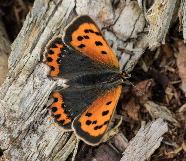 Small Copper. Photo: Chris Becker