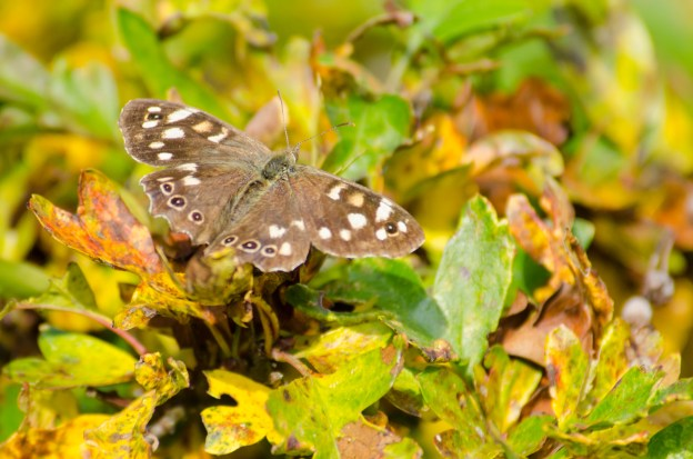 Speckled Wood. Photo: Tim Melling