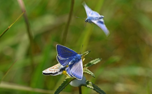 Two mating Common Blues, with a third one in flight