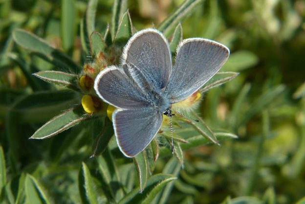Small Blue with wings open, shwoing the silvery blue sheen of this species