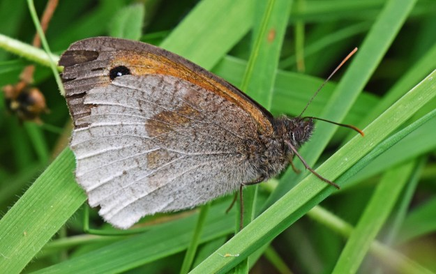 Underwing view of a Meadow Brown with an unusual light colour