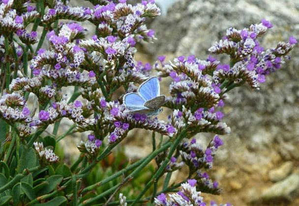 Blue butterfly against mauve sea lavender flowers