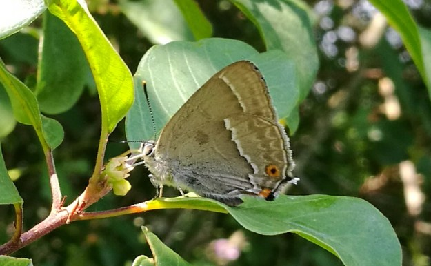 Greyis butterfly with white lines and an orange dot, on a leaf.