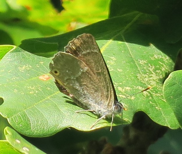 View of a slightly worn Purple Hairstreak, showing the distinctive spot on underwing