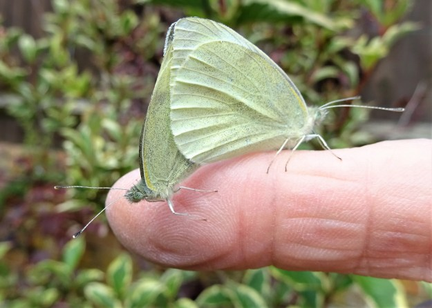view of two Small Whites mating on an outstretched finger