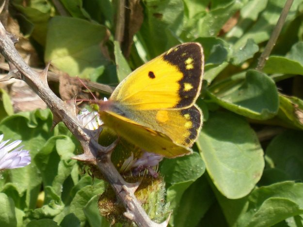 view of a Clouded Yellow female showing fore and hind-wing upperside