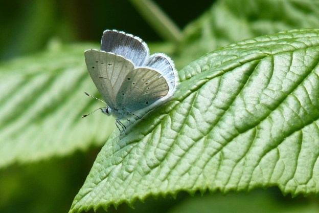 Holly Blue butterfly on a leaf, showing pale underside and a little of the black band of the edge around the top side of the wings