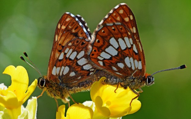 Two Duke of Burgundy butterflies, back to back in mating position