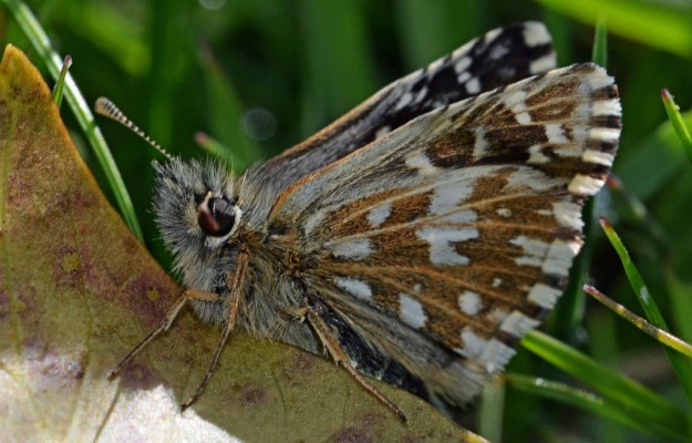 Side view of a Grizzled Skipper.