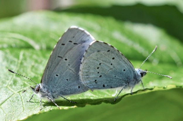 Pair of Holly Blues back to back in mating posture.