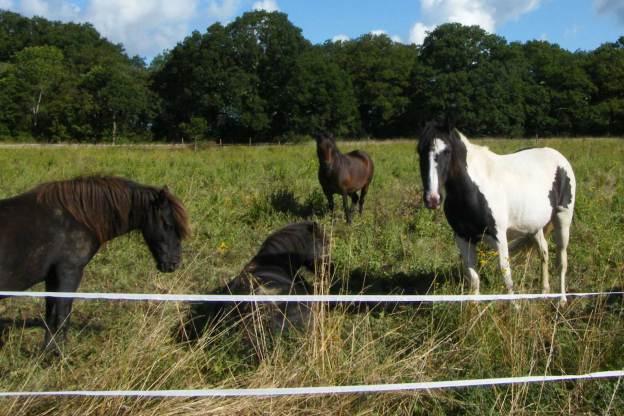 Ponies grazing Rooksmoor