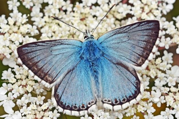Chalk Hill Blue (male) ab. suavis