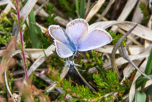 Male Silver-studded Blue with open wings, with a female underneath