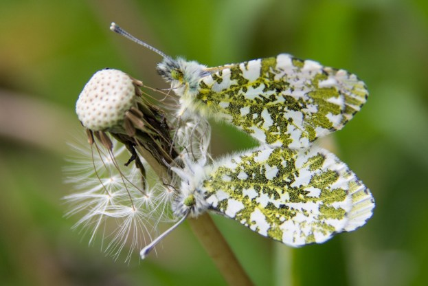 Two Orange Tip butterflies mating while clinging to an old dandelion see head
