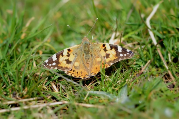 Painted Lady butterfly with outstretched wings on short grass