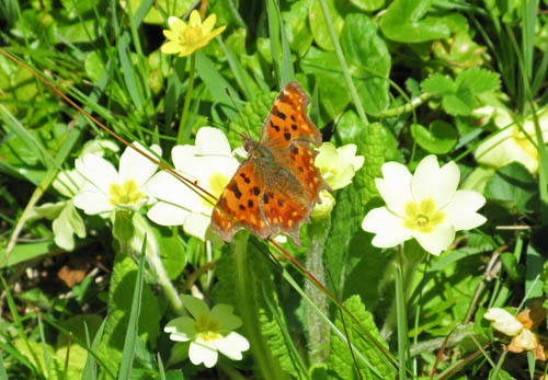 Comma butterfly with its wings open, on a primrose flower