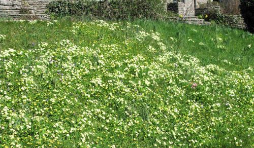 A grassy bank covered in blooming primroses
