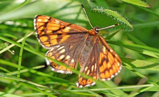 Duke of Burgundy with much lighter than usual colouring
