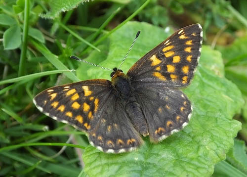The small Duke of Burgundy buterfly, with open wings