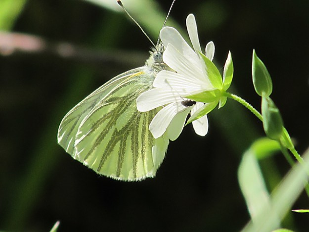 Side-on shot of a Green-veined White, showing the veins very clearly