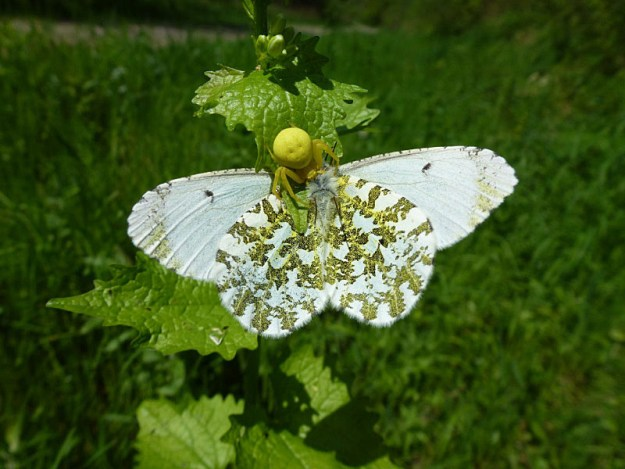 Crab spider eating orange tip butterfly - the body of the spider is where the head of the butterfly should be