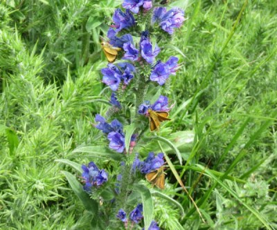 Three Lulworth Skippers on a bright blue spike of Viper's Bugloss flower