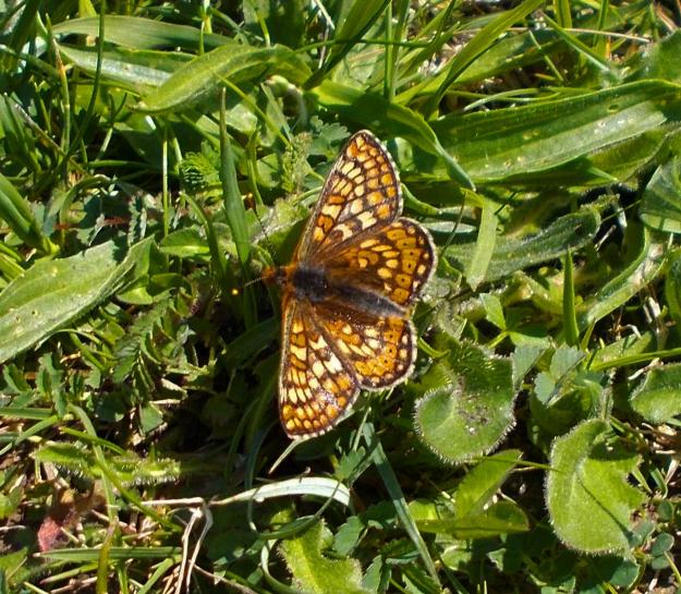 Marsh Fritillary with open wings, on grass and leaves