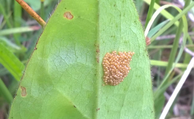 Group of light brown eggs on the underside of a leaf