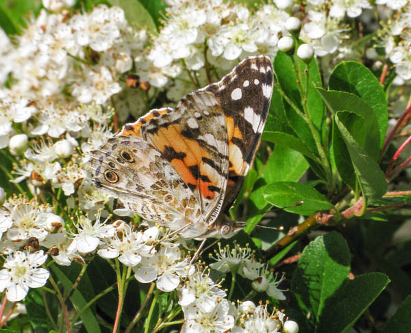 Sideways view of a Painted Lady on blossom
