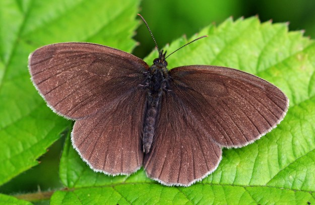 A ringlet with no markings on the top wing, but just plain dark brown