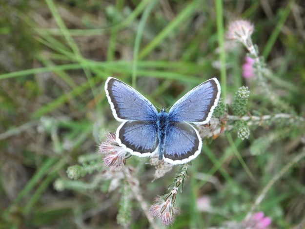 Silver-studded Blue with open wings, showing the white border to the blue wings