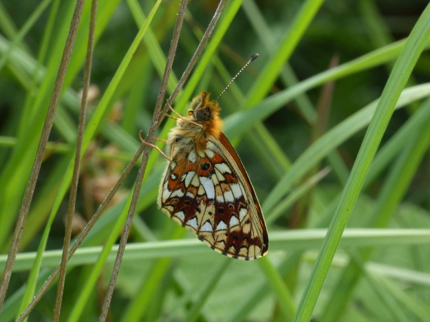 Small Pearl-bordered Fritillary - view of underwings